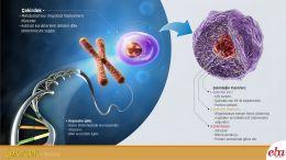 Çekirdek organelinin yapısı ve görevleri anlatılmaktadır.