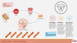 İnsan dilinde meydana gelen tatma olayı ve tatma kusurlarını anlatan infografik çalışması