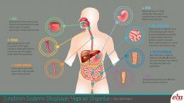Sindirim sisteminde bulunan yapı ve organları, görevlerini açıklayan çalışma.