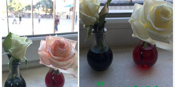 Renk değiştiren çiçekler deneyi